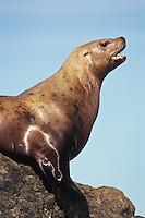 Northern Sea Lion or Steller Sea lion (Eumetopias jubatus),.Pacific Northwest coast.
