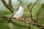 Adult male pygmy falcon (Polihierax semitorquatus) in acacia bush. Serengeti National Park, Tanzania.
