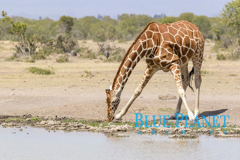 Reticulated Giraffe (Giraffa camelopardalis reticulata) adult, drinking at waterhole, Sweetwaters Game Reserve, Ol Pejeta Conservancy, Kenya, Africa