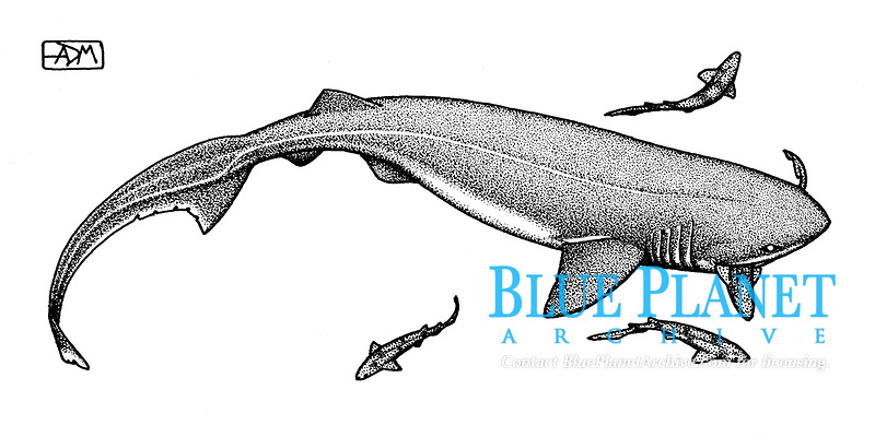 Bluntnose sixgill shark, Hexanchus griseus, attacking small-spotted catsharks, Scyliorhinus canicula, pen and ink illustration.