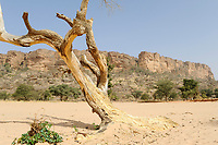 MALI,  Bandiagara, Dogonland, habitat of the ethnic group Dogon, Falaise rock formation, sand dune and dead tree