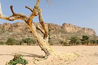 MALI,  Bandiagara, Dogonland, habitat of the ethnic group Dogon, Falaise rock formation, sand dune and dead tree