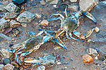 Blue crab 2 shot at edge of water at low tide.