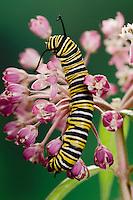 MONARCH BUTTERFLY life cycle..4th Instar feeding on milkweed blossum..North America. Danaus plexippus.