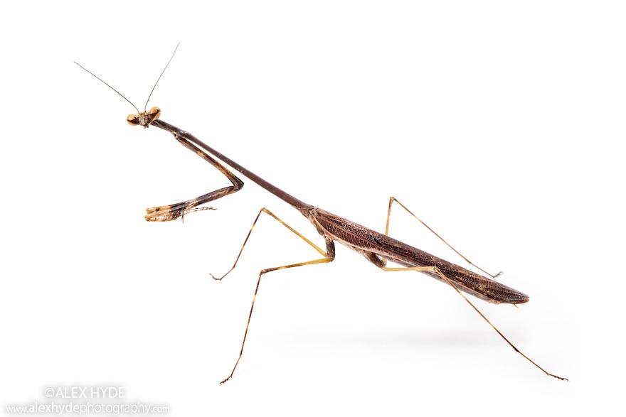 Praying Mantis {Mantadia} photographed on a white background. Danum Valley, Sabah, Borneo, Malaysia.