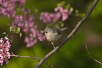 Tufted Titmouse (Parus bicolor) sitting in redbud tree..  Eastern U.S.,  May.