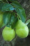 NA; Canada; British Columbia; Okanagan Valley; Bartlett Pear (Selective Focus)