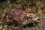 Lembeh Strait, Indonesia; a male flamboyant cuttlefish mating with a much larger female. After each encounter, the female would deposit a fertilized egg under a nearby coconut shell on the sea floor, where the baby cuttlefish will develop over the next few weeks before hatching as fully functioning and self reliant, tiny cuttlefish.