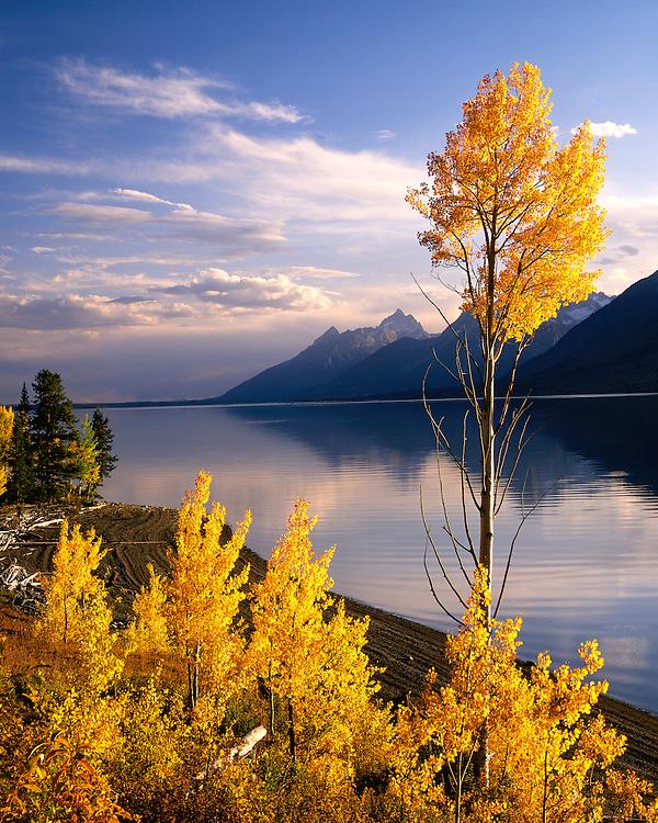 Aspen trees in fall color along Jackson Lake; Grand Teton National Park, WY