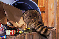 RACCOON raiding garbage in backyard shed..Autumn. North America..(Procyon lotor).