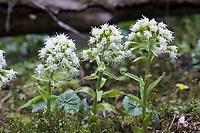 Weiße Pestwurz, Weisse Pestwurz, Pest-Wurz, Petasites albus, White Butterbur, Umbrella Plant, Le pétasite blanc
