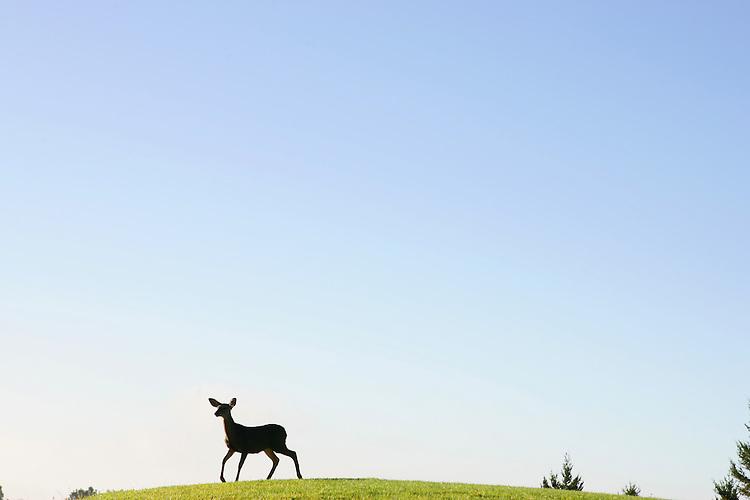 December 5, 2007; Santa Cruz, CA, USA; A deer roaming in an open meadow on the campus of UC Santa Cruz in Santa Cruz, CA. Photo by: Phillip Carter