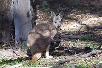 Euro aka Common Wallaroo, Wilpena Pound, Flinders Range, SA, Australia