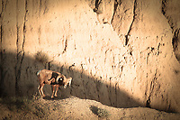Badlands Bad Ass - South Dakota - Badlands NP - Big Horn Sheep