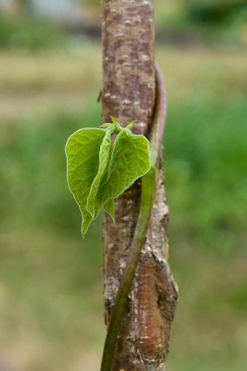 Runner bean 'St George' climbing up a hazel pole, end June. Seeds sown 5-6 weeks earlier.
