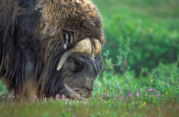 Muskox bull (Ovibos moscchatus) grazes amid summer tundra flowers in Arctic National Wildlife Refuge, Alaska, U.S.A.