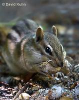 0701-1002  Eastern chipmunk Eating a Roasted Peanut, Tamias striatus  © David Kuhn/Dwight Kuhn Photography