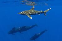 oceanic white tip shark, Carcharhinus longimanus, and short-finned pilot whales, Globicephala macrorhynchus, Kona Coast, Big Island, Hawaii, USA, Pacific Ocean Ocean