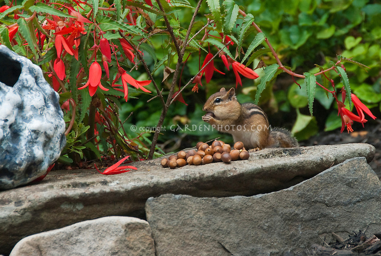 Eastern Chipmunk Tamias striatus animal mammal rodent eating acorn nuts in mouth cheek of Quercus marllandica, Blackjack Oak, aka Scrub Oak, next to colorful red flowers of Begonia Million Kisses Romance and a homemade pot ornament in the garden atop a rock.