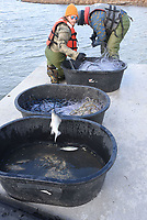 Aaron Freeman (left) tosses a white bass into a tub of captured fish. White bass, walleye and other game fish were measured and weighed in the Lake Fort Smith study.<br />(NWA Democrat-Gazette/Flip Putthoff)