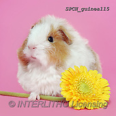 Xavier, ANIMALS, REALISTISCHE TIERE, ANIMALES REALISTICOS, photos+++++,SPCHGUINEA115,#A#, EVERYDAY ,funny