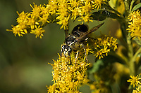 Bald-Faced Hornet (Dolichovespula maculata), member of the wasp family (Vespidae), drinks goldenrod nectar (Solidago sp.) in September, Rondeau Provincial Park, southwestern Ontario, Canada.  Goildenrod pollen is too sticky and heavy to be dispersed on the wind, so the plant relies for pollination on the numerous insects who feast on its pollen and/or nector.