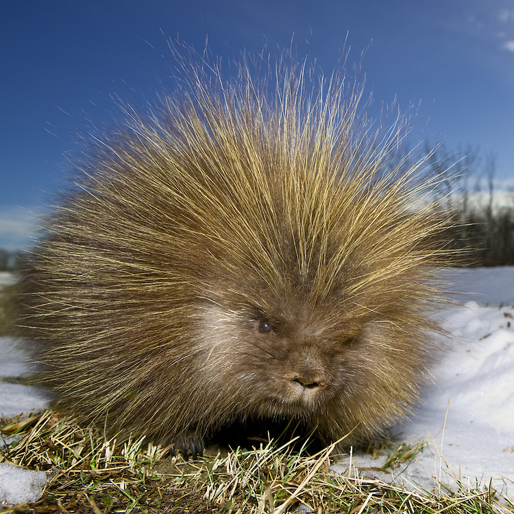 Porcupine (dorsatum erethizon) standing beside a road on a grassy area near some snow in Elk Island National Park, Alberta, Canada