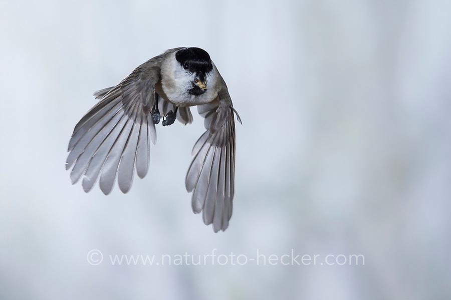 Sumpfmeise, Flug, Flugbild, fliegend, mit Vogelfutter im Schnabel, Sumpf-Meise, Nonnenmeise, Meise, Meisen, Poecile palustris, Parus palustris, marsh tit, flight, flying, tit, tits, La mésange nonnette