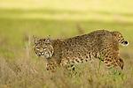 Bobcat (Lynx rufus californicus) female walking, Santa Cruz, Monterey Bay, California