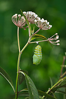 Monarch (Danaus plexippus), caterpillar pupating on Aquatic Milkweed (Asclepias perennis), series, Hill Country, Central Texas, USA