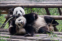 Active baby panda bears at the Panda Research Center in Chengdu, China.