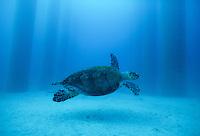 Hawksbill turtle<br /> Fredericksted Pier<br /> St. Croix, U.S. Virgin Islands
