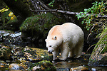 Adult spirit bear or Kermode bear (Ursus americanus kermodei)(pale/white morph of an North American black bear). Along Gwaa stream, Gribbell Island, Great Bear Rainforest, British Columbia, Canada. September 2018.