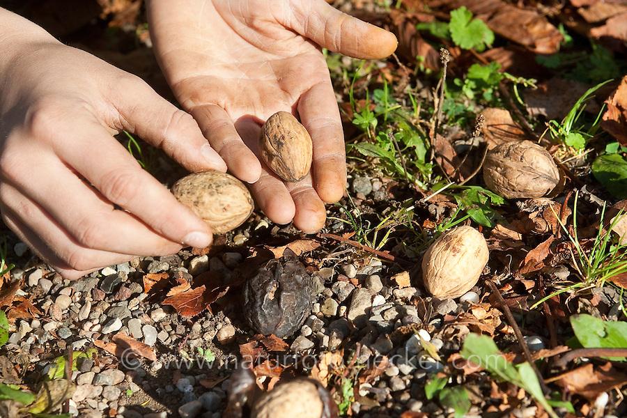Kind sammelt Walnüsse, Ernte, Walnuss, Walnuß, Wal-Nuss, Wal-Nuß, Reife Früchte, Nüsse, Ernte, Juglans regia, Walnut, Noyer commun