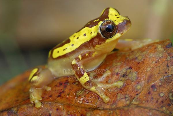 .Hourglass Tree Frog (Dendropsophus ebraccatus), adult, Cahuita National Park, Costa Rica.