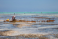 "Jambiani, Zanzibar, Tanzania.  Upright Poles Indicate Rows of Seaweed Cultivated by Village Women.  It will be dried and exported to Asia.  Plots can only be tended at low tide.  Women receive about twelve cents per kilo, ""thin and dried."""