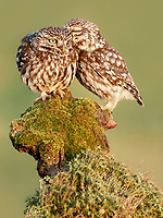 Little Owl (Athene noctua), Spain