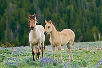 Wild Horse or feral horse (Equus ferus caballus) colt with young mare in wildflowers (mare maybe a year older sister).  Western U.S., summer.
