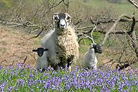 Swaledale ewe and twin Swaledale lambs in Bluebells, New Hey Farm, Dunsop Bridge, Lancashire.