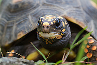 Red-footed tortoises are popular pet tortoises from northern South America. They are medium-sized tortoises that generally average 30 centimetres as adults, but can reach over 40 cm. <br /> Scientific name: Chelonoidis carbonaria