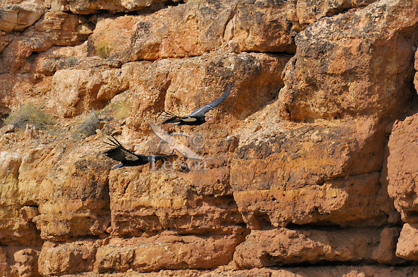 California Condors (Gymnogyps californianus)--adult and immature-- flying along canyon walls Marble Canyon (Colorado River), Grand Canyon National Park, Arizona.  Lower bird is a juvenile--head does not start to turn reddish-pink until 3 to 4 years of age.