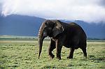 African elephant walking across the Kenya plain.