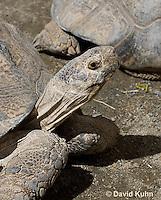 0417-1005  Leopard Tortoise, Geochelone pardalis  © David Kuhn/Dwight Kuhn Photography.