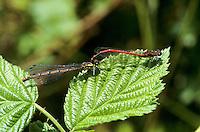 Frühe Adonislibelle, Adonis-Libelle, Paarung, Kopulation, Tandem, Männchen greift Weibchen mit Hinterleibszangen hinter dem Kopf, Pyrrhosoma nymphula, large red damselfly