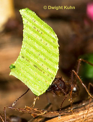 AN14-508z  Leafcutter Ants carrying leaves to nest, Atta mexicana