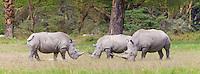 White rhino (Ceratotherium simum), Lake Nakuru National Park, Kenya