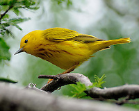 Yellow Warbler, South Padre Island, TX