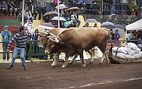03/02/2013. Santa Cruz de Tenerife.Canary Islads.Spain. Drag cattle (sport canary)<br /> In this sport, a couple of pieces of cattle (cows, oxen and bulls) have to drag a weight in the shortest possible time through a delimited field. It has a more recent origin than other traditional sports canaries since birth is in the twentieth century. His practice is subject to livestock markets and the festivals, where the exhibits livestock farmer 'rough', which has made great efforts in breeding and conservation.<br /> There is a rectangular field narrows, about 50-70 m long and 15 wide, usually land, where animals (called 'yoke') must drag a number of bags of 100 kg each (between 6 and 11 ), placed on a sled named 'corsa'. The pull test is performed against time, having a maximum driving time of 4 minutes. The yokes are guided by a stick by the figure of 'herdsman' or 'Guayero'. (C) Enrique Tapia / DyD Fotografos