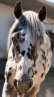 Appaloosa Indian Pony
