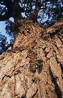 Texas Rat Snake, Elaphe obsoleta lindheimeri, adult climbing Oak tree, Lake Corpus Christi, Texas, USA, May 2003